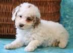 Poodle (Miniature) Puppy For Sale in MOUNT JOY, Pennsylvania,