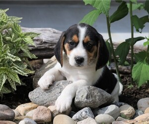 Beagle Puppy for sale in FREDERICKSBG, OH, USA