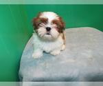 Puppy 1 Shih Tzu