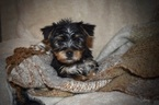 Yorkshire Terrier Puppy For Sale in KELLY, LA, USA