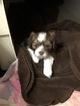 Lhasa Apso Purebred Puppies