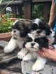 Shih Tzu Puppy For Sale in CANONSBURG, PA, USA