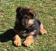 German Shepherd Dog Puppy For Sale in NORTH BERGEN, NJ,