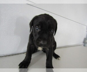 Great Dane-Newfoundland Mix Puppy for sale in INDIANAPOLIS, IN, USA