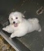 Maltese Puppy For Sale in CARROLLTON, GA
