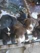 Labrador Retriever Dog For Adoption in BARSTOW, CA, USA