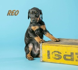 Doberman Pinscher Puppy For Sale in ONARGA, IL, USA