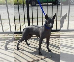 Xoloitzcuintli (Mexican Hairless) Puppy for sale in SACRAMENTO, CA, USA