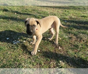 Mastiff Puppy for Sale in CLARKRANGE, Tennessee USA