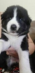 Alaskan Husky-German Shepherd Dog Mix Puppy For Sale in DENVER, CO, USA
