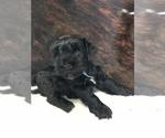 Puppy 5 Schnauzer (Miniature)