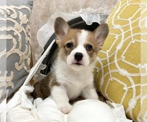 Pembroke Welsh Corgi Puppy for Sale in LOS ANGELES, California USA
