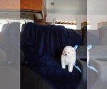 Small #7 Pomeranian