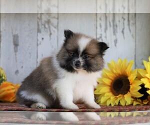 Pomeranian Dog for Adoption in FREDERICKSBG, Ohio USA