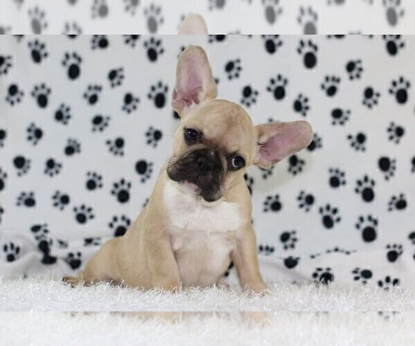 Medium Photo #1 French Bulldog Puppy For Sale in GRAPEVINE, TX, USA