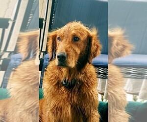 Golden Retriever Puppy for sale in DEXTER, GA, USA