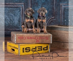 Doberman Pinscher Puppy for Sale in ONARGA, Illinois USA
