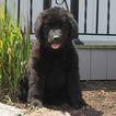 Newfoundland Puppy For Sale in GAP, PA,