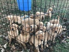 Golden Retriever Puppy For Sale in AUBURN, KY