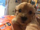 Shih-Poo Puppy For Sale in GORHAM, ME, USA