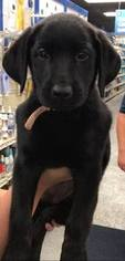 Labrador Retriever Puppy For Sale in KOKOMO, IN, USA