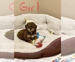 CKC Female toy poodle