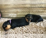 Puppy 4 Airedale Terrier