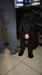Newfoundland Puppy For Sale in VARNA, IL,