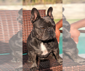 Father of the French Bulldog puppies born on 07/12/2021