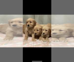 Golden Retriever Puppy for sale in SOAP LAKE, WA, USA