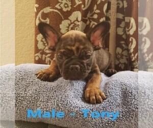 French Bulldog Puppy for sale in W SACRAMENTO, CA, USA