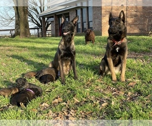Belgian Malinois Puppy for sale in JACKSONVILLE, TX, USA