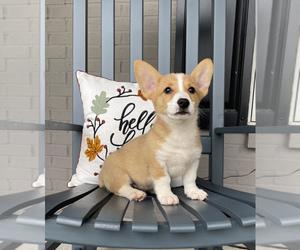 Pembroke Welsh Corgi Puppy for sale in FRANKLIN, IN, USA
