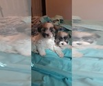 Small #18 Morkie