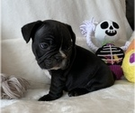 Small #10 French Bulldog