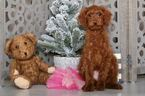 Poodle (Standard) Puppy For Sale in MOUNT VERNON, Ohio,