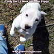 Small Photo #157 Dogo Argentino Puppy For Sale in PINEVILLE, MO, USA