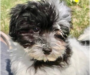 Maltese-Poodle (Toy) Mix Puppy for Sale in STAFFORD SPRINGS, Connecticut USA
