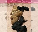 Puppy 8 Australian Labradoodle