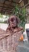 Labrador Retriever Puppy For Sale in FRESNO, CA, USA
