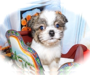 Shiranian Puppy for sale in HAMMOND, IN, USA