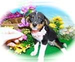 Small #3 Jack-Rat Terrier Mix
