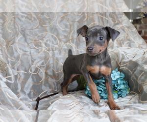 Miniature Pinscher Dog for Adoption in SHILOH, Ohio USA