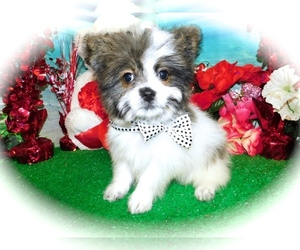 Shiranian Puppy for Sale in HAMMOND, Indiana USA