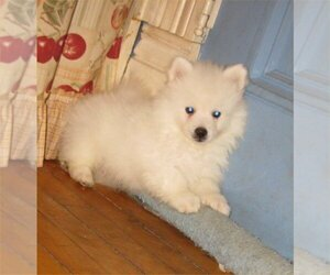 American Eskimo Dog (Toy) Puppy for sale in CAMPBELL, MN, USA