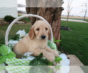 Goldendoodle Puppy for sale in INDIANAPOLIS, IN, USA