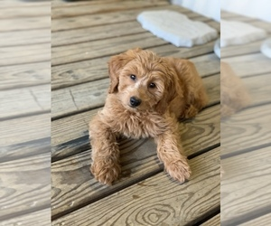 Goldendoodle Puppy for sale in HUNTSVILLE, AL, USA