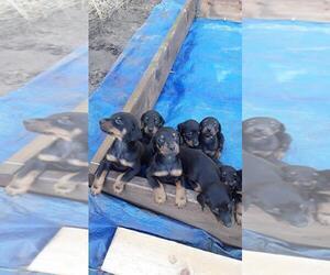 Doberman Pinscher Puppy for sale in WESTWOOD, CA, USA