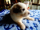 Great Pyrenees Puppy For Sale in DALLAS, GA