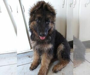 Medium German Shepherd Dog